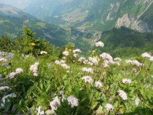 Flores en los Alpes
